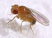 Fruit Fly Body Composition